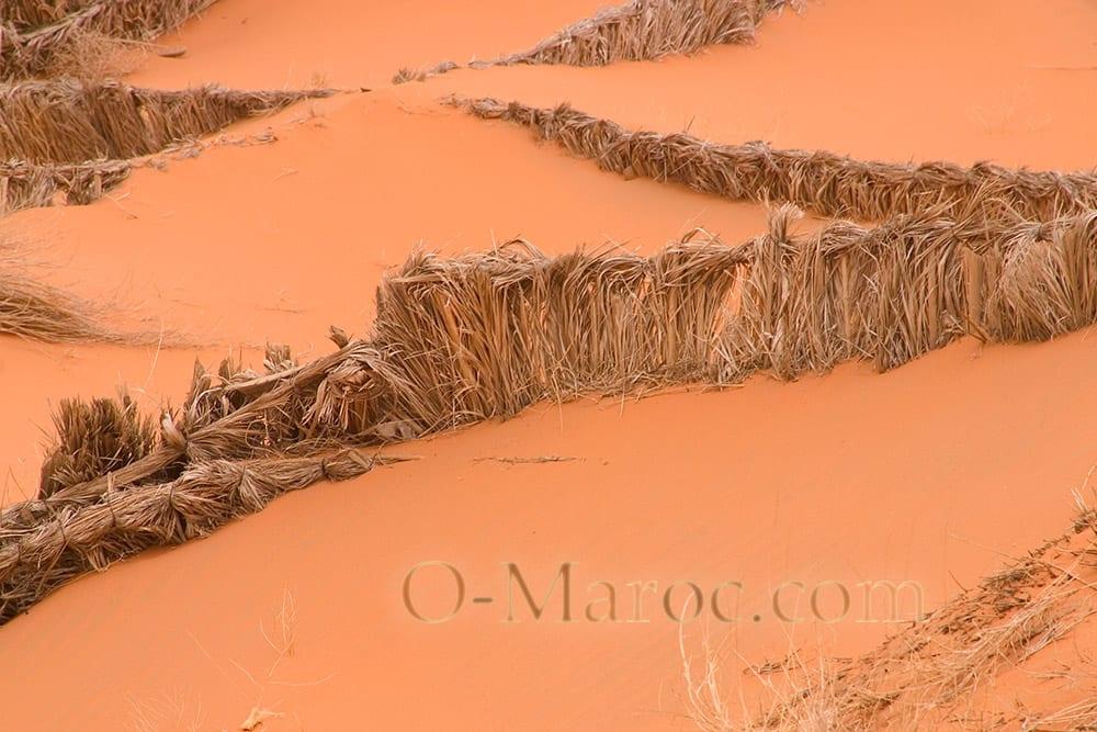 Roseaux dans le sable des dunes