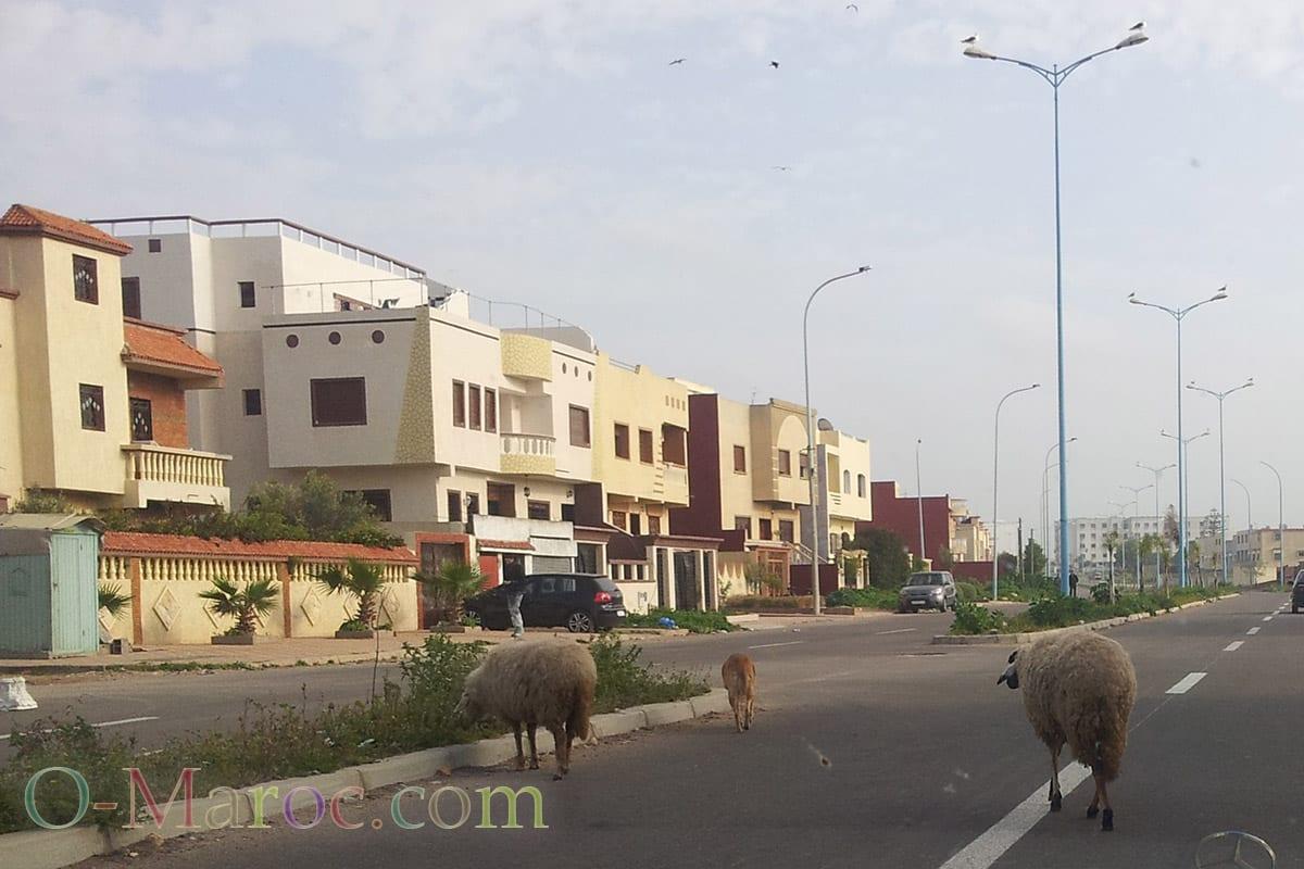 Moutons dans les rues d'El Jadida