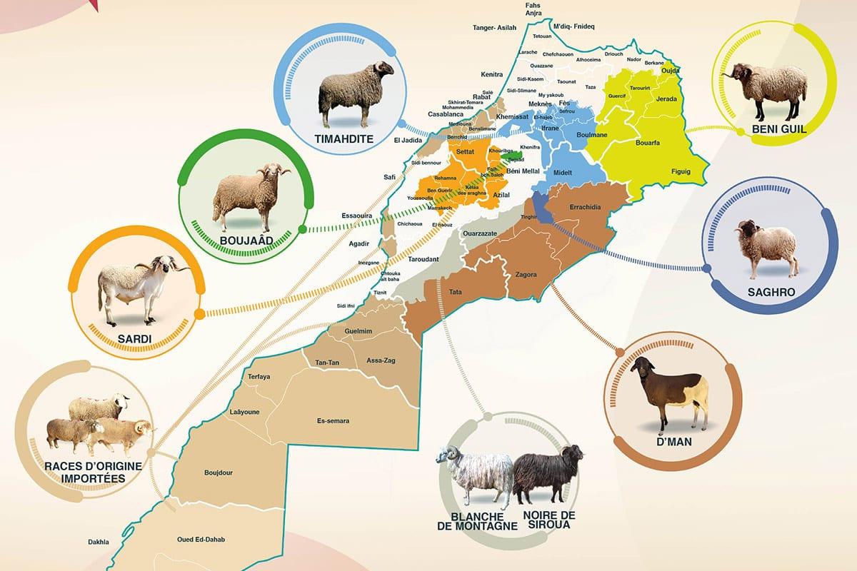 Carte des différentes races de moutons au Maroc