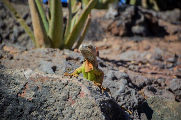 Un iguane vert et jaune en position de surveillance dans le jardin des cactus