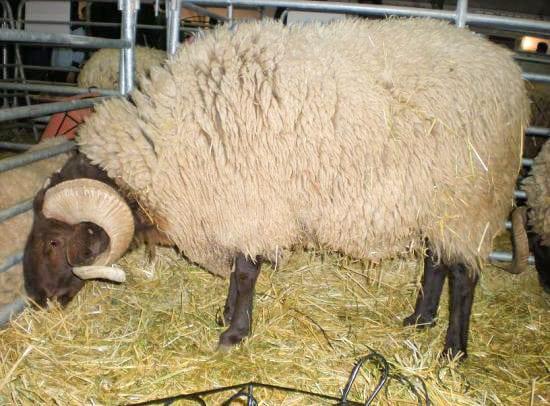 Mouton beni guil