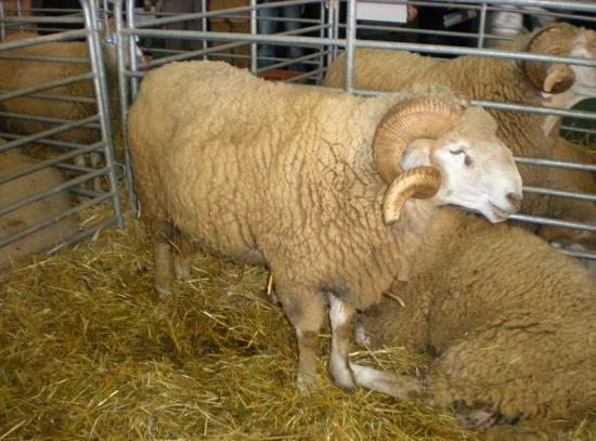 Mouton boujaad