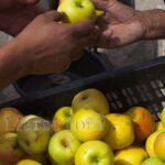 Pommes de Middelt